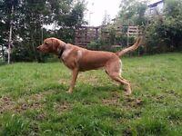 Dog (Labrador - Red Fox)