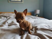Chocolate Chihuahua Puppy for sale ready now