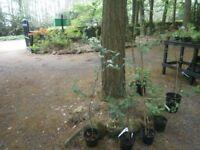 ORNAMENTAL JAPANESE CRAB APPLE TREE,POTTED GARDEN/PATIO SPECIMEN TREE
