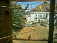 For sale adults and young canaries