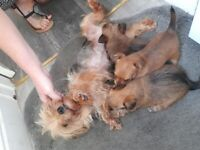 Yorkshire terrier cross chihuahua puppys