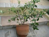 Narrow Leaf Shrub Which Gives Red Berries The Birds Love in Terracotta Pot for £10.00