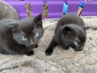 Kitten cat for sale male boy STILL AVAILABLE