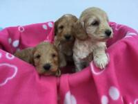 Beautiful f1 Cockapoo Puppies for Sale!
