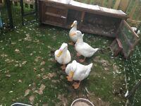 Aylesbury Ducks