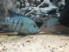 Female Rio Hondo Cichlid
