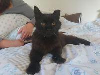 MISSING CAT - FLUFFY BLACK/DARK BROWN, MISSING HALF LEFT EAR, ORANGE EYES..