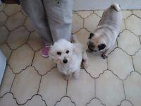 2 Pugs, 1 Chuhuahua & 1 Bijon Frise FOR SALE TO GOOD HOMES