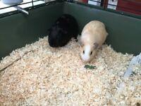 2 very cute 11 week old Male guinea pigs .