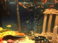 Guppies 7 for £1. tropical fish.