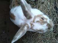 2yr old female rabbit and indoor cage for sale