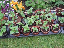Fuchsia Plants 50p each in 7cm & 9cm