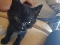 Adorable black male kitten 8 weeks old
