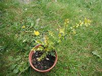 Lonicera Nitida `Baggessen's gold' or boxleaf honeysuckle plant in a 10 cm pot