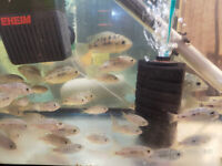 Fish tank accessories cichlid big baby