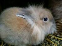 Purebreed Lionhead Rabbits Bunnies For Sale