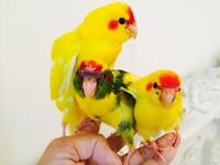 Fully HandReared SillyTamed Baby Kakariki Parrots