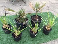2 x Ornamental potted Palms and 4 x decorative wide Grasses to suit garden, patio, terrace, balcony