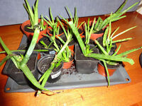 Aloe Vera plant (home grown)