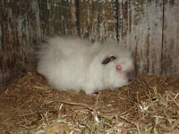 4 Rescued Guinea Pigs all in need of a good home. Varying breeds and colours. All male