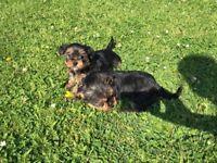 Mini Yorkie / Yorkshire terrier puppies