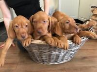 Hungarian viszla puppy's