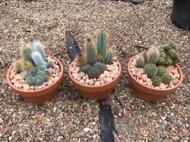 Large cactus mix in terracotta pot