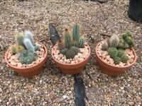 Large cactus mix in terracotta pot