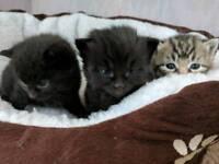 [Reserved] Black female kittens