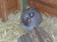 NETHERLAND DWARF RABBITS MALE AND FEMALE £30 EACH