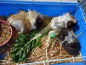 BABY GUINEA PIGS Hallett Cove Marion Area Preview