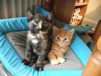 2 FLUFFY KITTENS TORTOISESHELL FEMALE & GINGER MALE VERY PLAYFUL 8 WEEKS £50