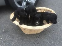 6 lovely nearly 8 week old cocker spaniels