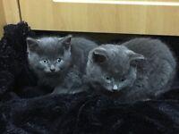 british short hair kittens £325 each or both for £550