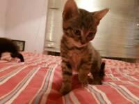 8 week Kittens