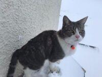 MISSING CAT CAMBUSBARRON GREY AND WHITE BERTIE