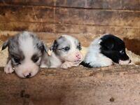 7 x collie puppies