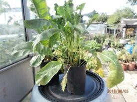 Horseradish plants