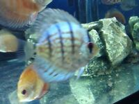 Tropical fish - Discus for sale
