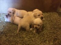 IKC REG GOLDEN LABRADOR PUPPIES