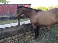 Lovely buckskin mare AQHA registered