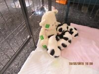 CAVACHON MUM AND JACK RUSSELL DAD PUPPIES FOR SALE, 4 HANDSOME MALE PUPPIES - £350