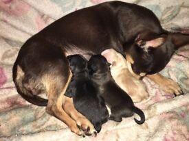 Chihuahua Black Female Puppy ready 12th March