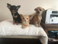5 chihuahua for sale