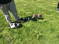 Pure springer spaniel puppies