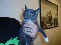British Shorthaired cross kitten, both parents can be seen, female