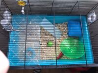 2 dwarf hamsters and cage collection only