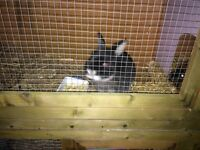 **** need to sell ***2 brother bunnies