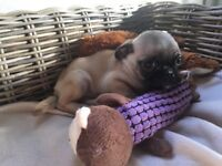 10 weeks old pug pups for sale!