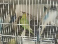 Budgies for sale. Healthy and friendly birds, selling due to lack of space